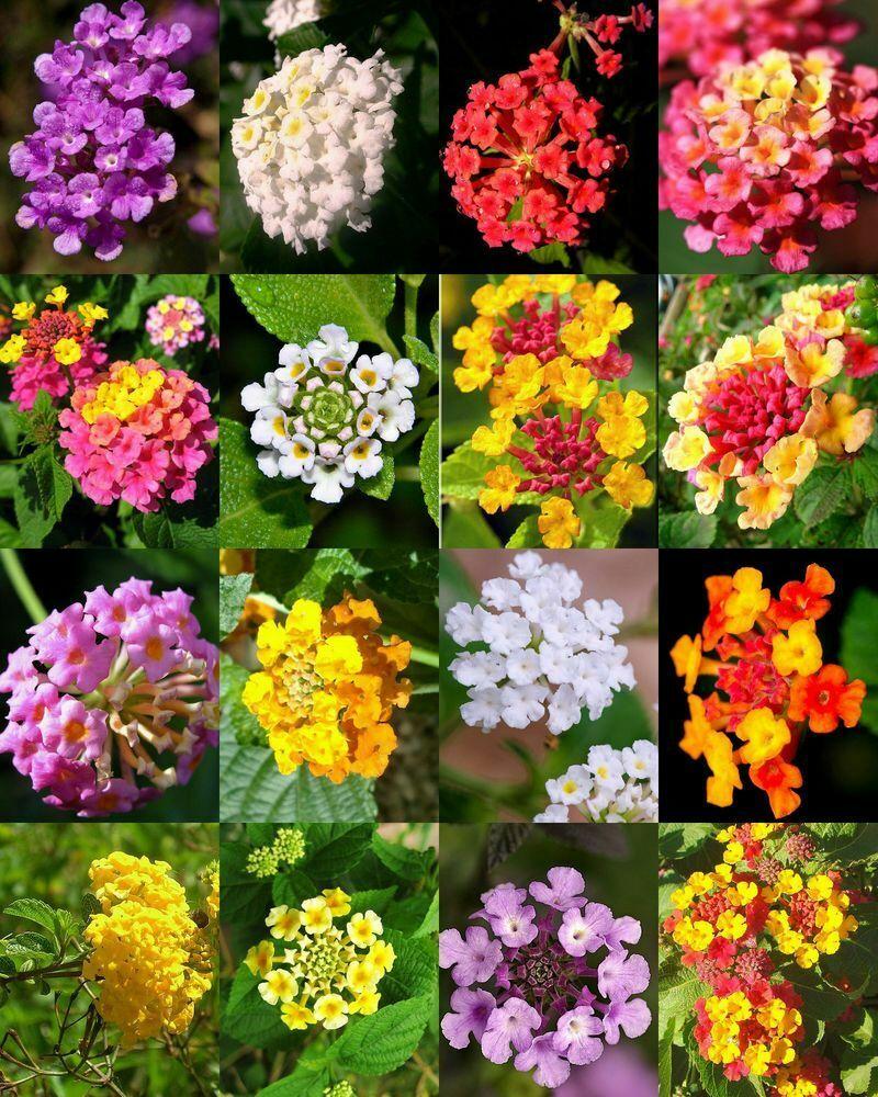 20pc Lantana Camara Kvetiny Semena Vzacne Bonsai Rostliny Krasne Zahrady V Domacnosti Ebay Lantana Plant Plants Flower Pots