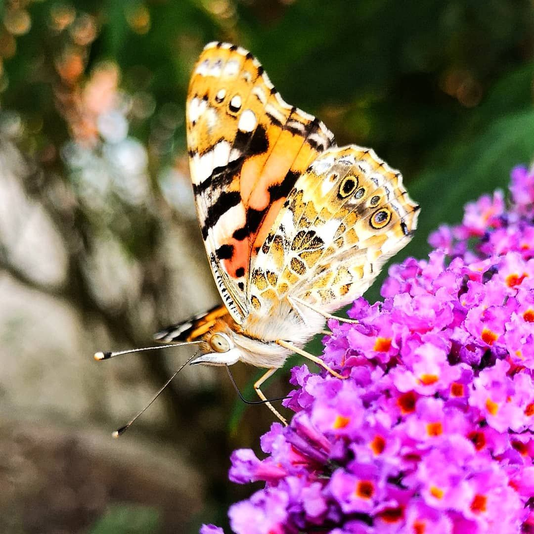 The Painted Lady (Vanessa cardui) 🦋 ° ° ° #butterflies #butterfly #nature #insects #macro #flowers #art #photography #naturephotography #insect #love #butterfliesofinstagram #beautiful #ig #ip_insects #macro_addiction #wildlife #MACROGRAMMERS #naturelovers #garden #worldwide_macro #photooftheday #macrophotography #flower #soul_made_butterfly #huawe