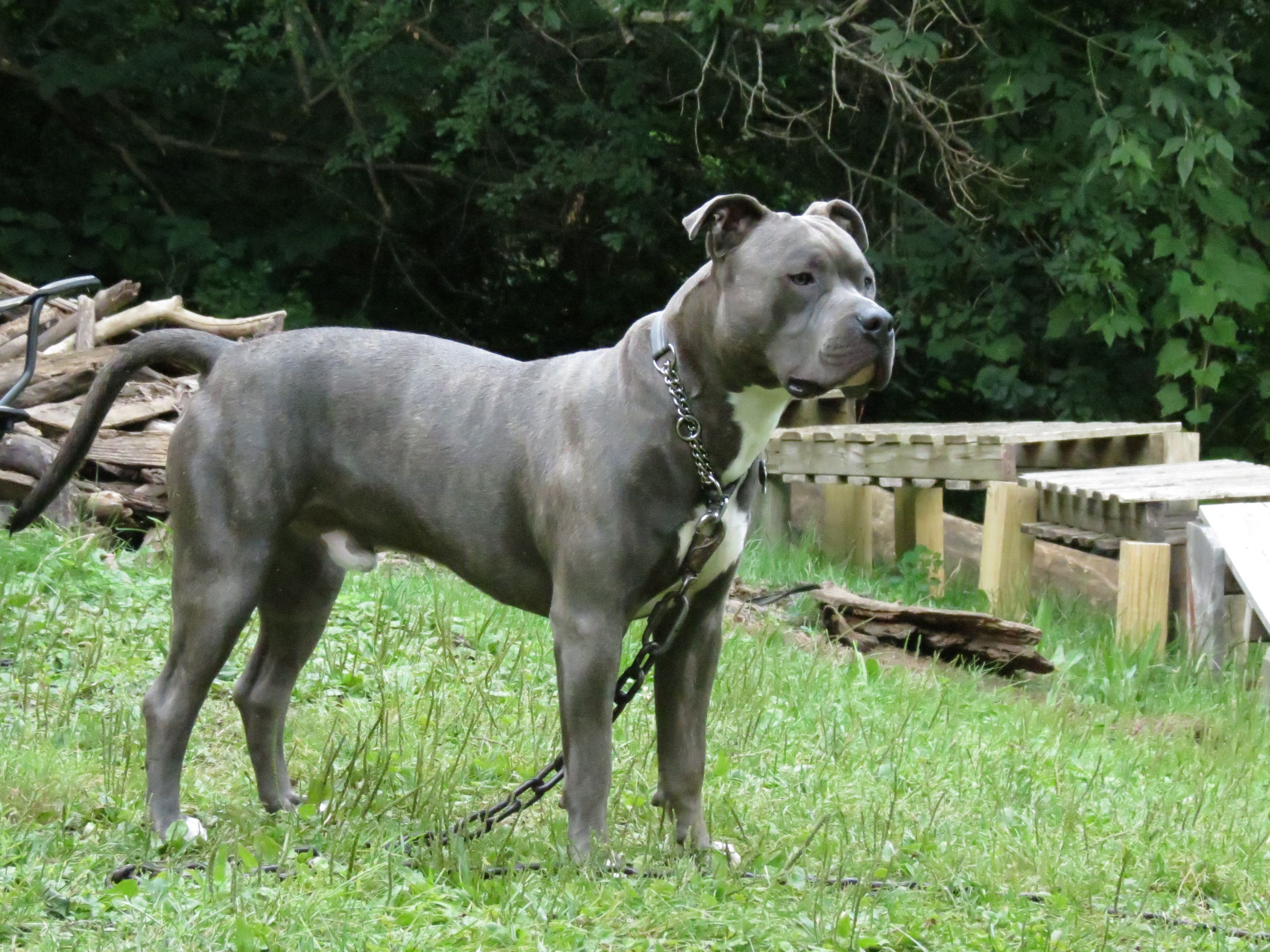Knight Sabre The Thunderfoot Blue Nose Blue Brindle Pitbull