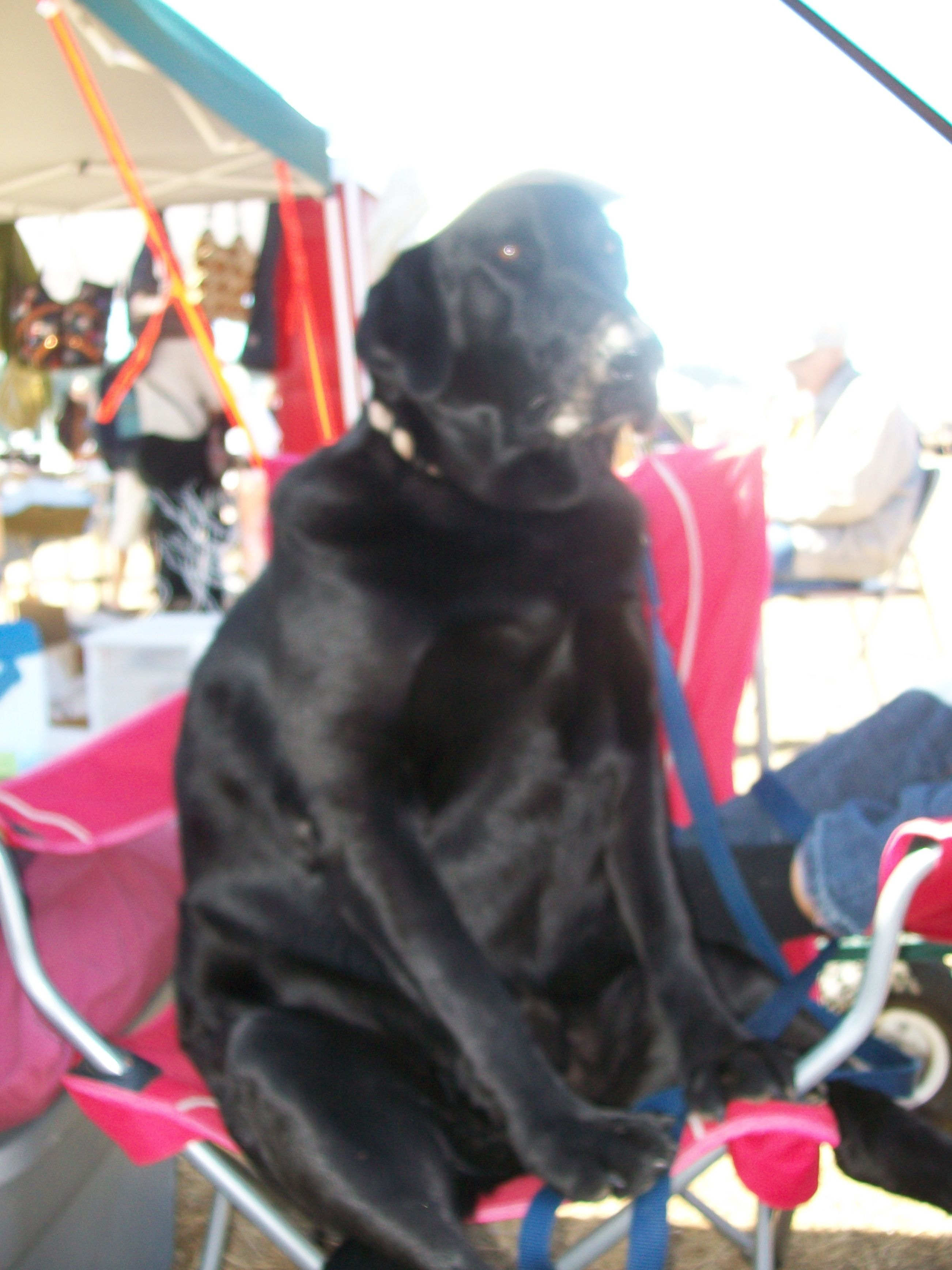 Extra Large Labrador Retriever