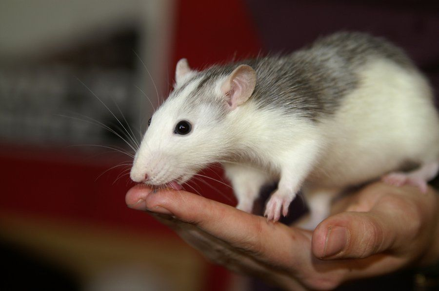 we <3 licky rats