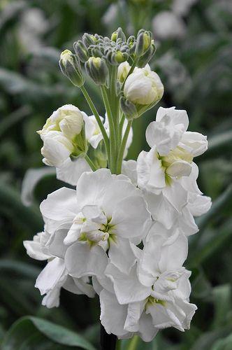Zeer Matthiola incana 'Katz White' | bloemennamenlijst 2 -klas 4 vmbo #RC26