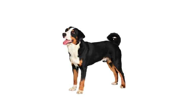 Appenzeller Sennenhund Dog Breeds Medium Dog Breeds Dogs
