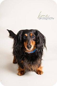 Maple Grove Mn Dachshund Meet Nigel A Dog For Adoption