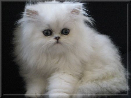 Must Have This Kitten Napoleon Cat Purebred Cats Persian Kittens For Sale