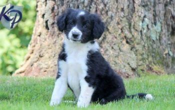 Bordoodle Puppies For Sale Puppy Adoption Keystone Puppies