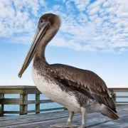 Brown Pelican Myrtle Beach South Carolina Sc