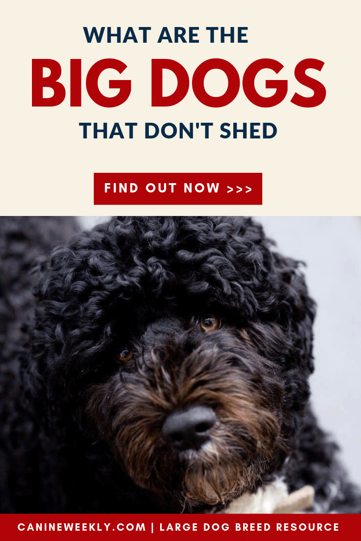 13 Big Dogs That Don T Shed Large Non Shedding Dog Breeds