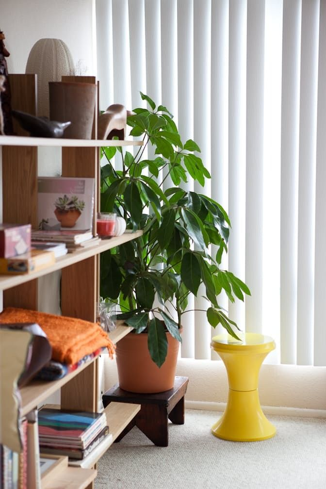 Umbrella Plants Our Best Tips For Growing And Care Apartment Therapy