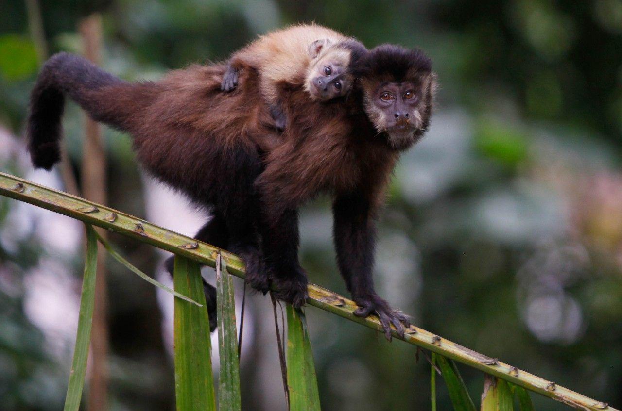 Hero Monkeys Helped Lost Man Survive For Days In Amazon