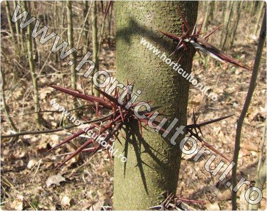 copac viu cu varicoză