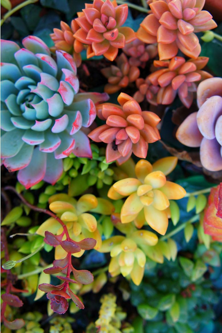 Colors of Crassulaceae Succulents | Stunning Nature ...