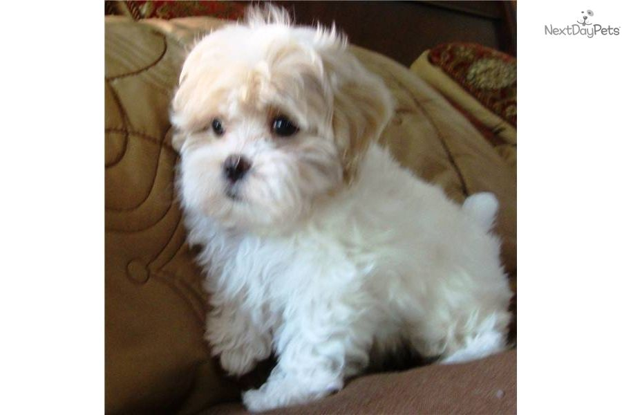 Maltipoo Dogs Pictures Price Reduced No Shed Maltipooall