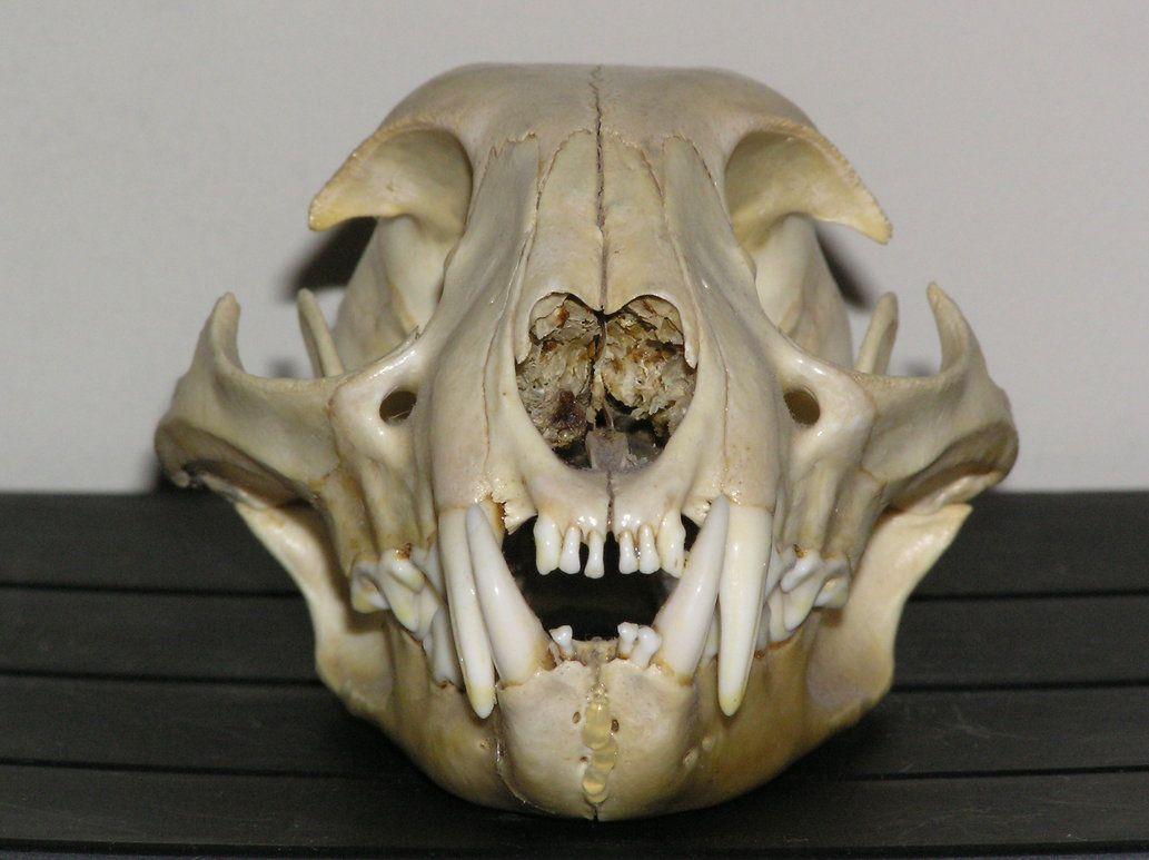 cat skull - Google Search | Anatomy | Pinterest | Cat skull, Animal ...