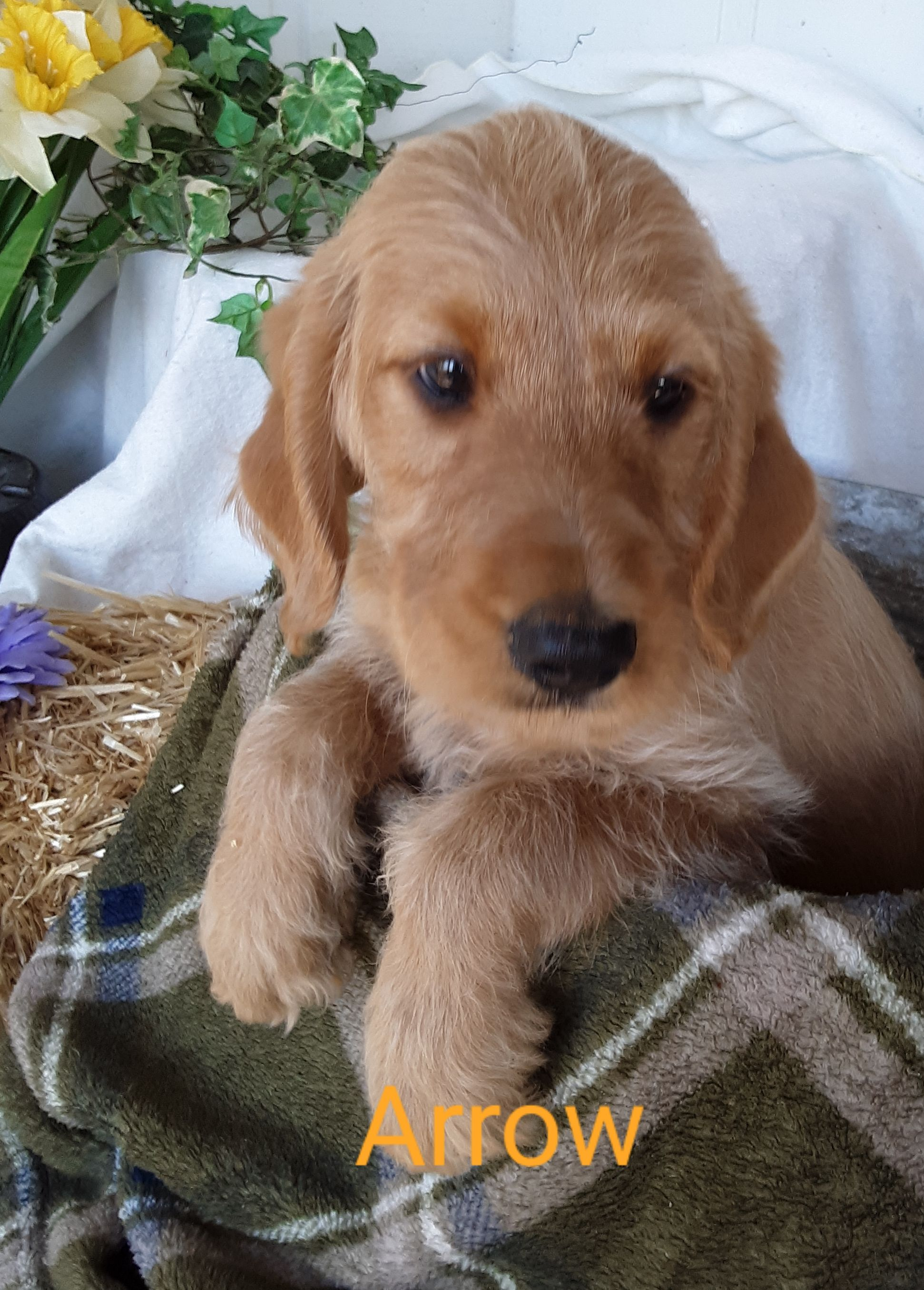 Puppies for Sale Mini labradoodle puppy, Labradoodle