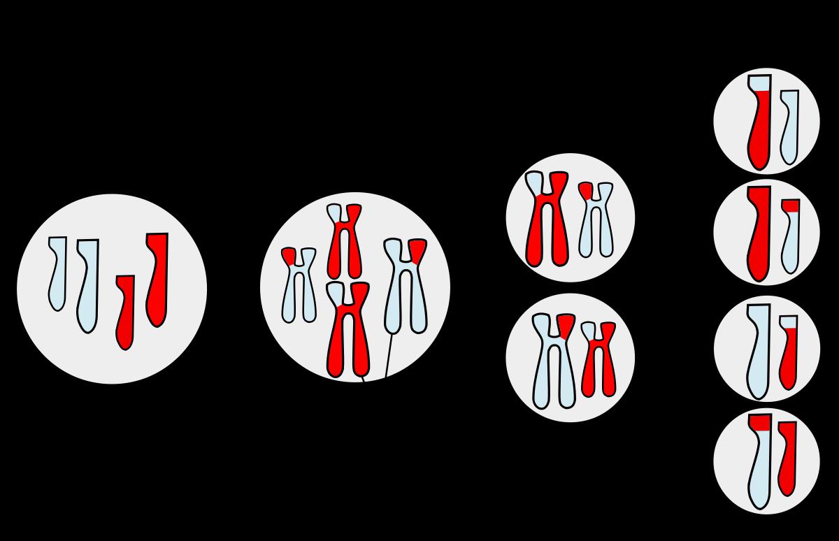 Resultado De Imagen Para Meiosis La Meiosis Ciclo Celular Clase De Biologia