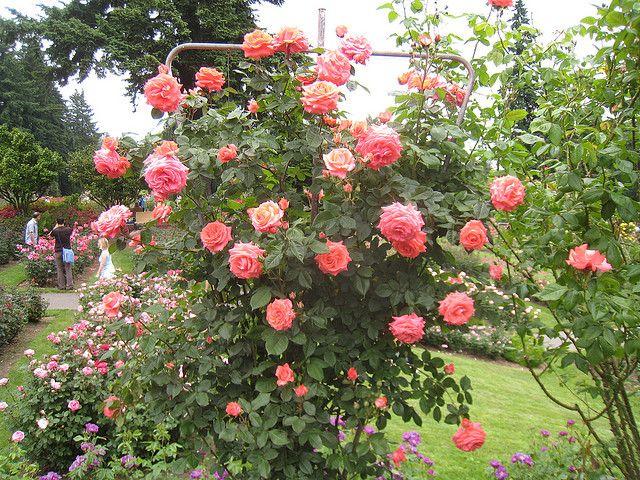 Climbing Rose America Rose Garden Design Climbing Roses Garden Design