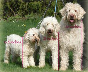 Learn More About The Labradoodle Dreamydoodles Com With Images
