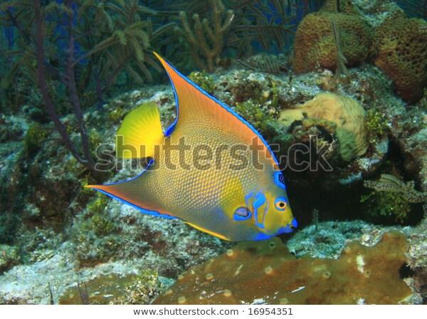 Queen Angelfish Stock Photo Edit Now 16954351 In 2020 Angel Fish Photo Editing Stock Photos