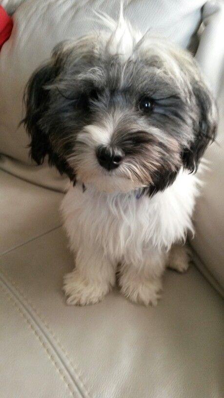 Cappy Has Omg Eyes Eyelashes Havanese Dogs Havanese Dogs