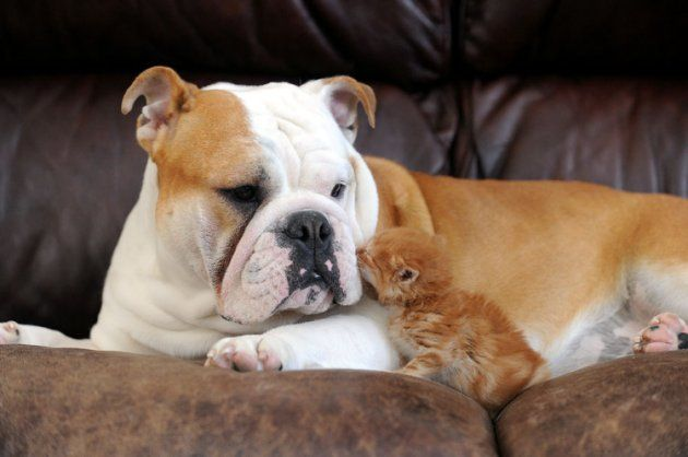 Tough Love Adorable Orphaned Kitten Adopted By Bulldog Baby