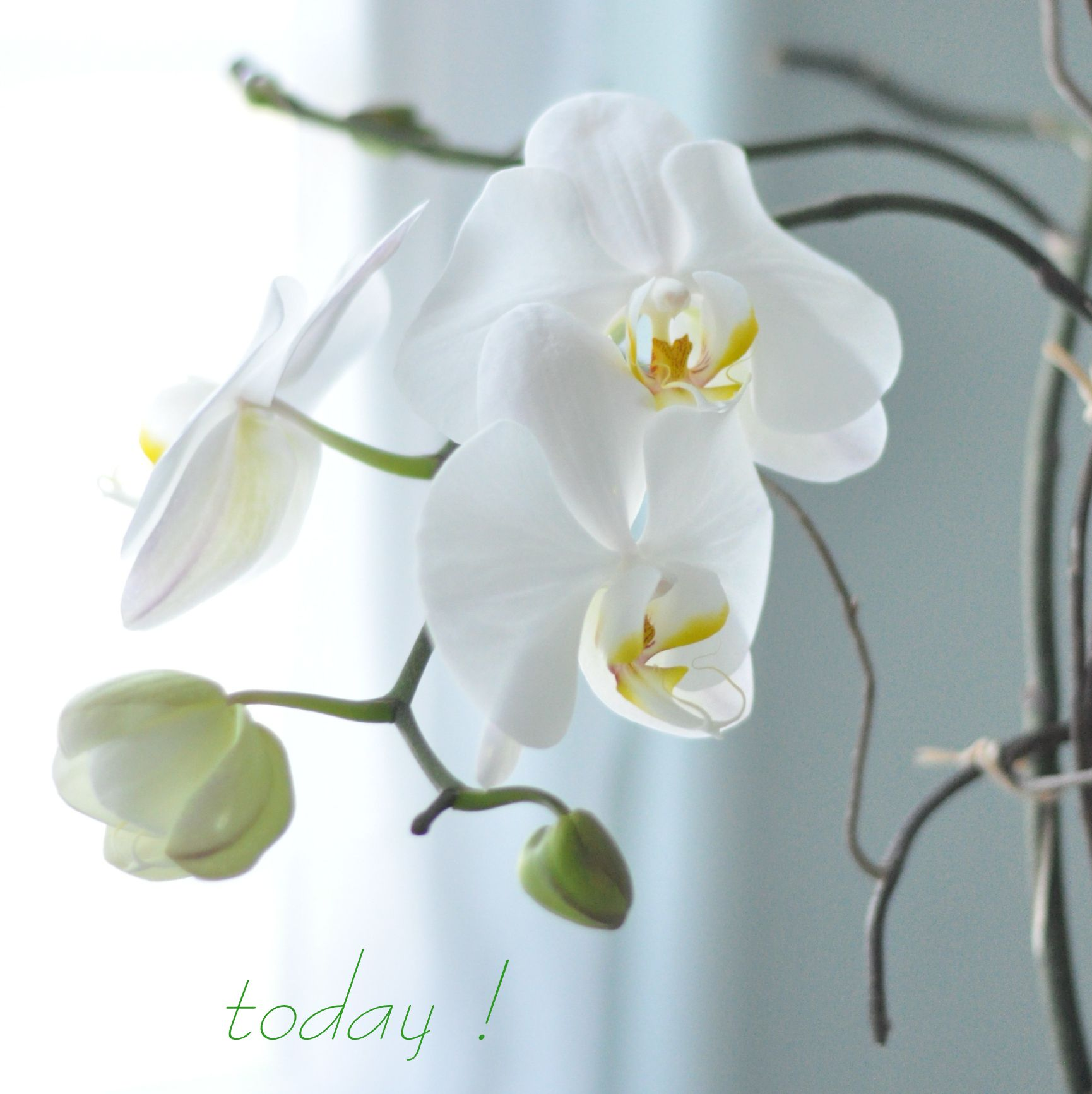 How To Keep An Orchid Alive And Reblooming Orchids Pinterest - Orquideas-blancas-cuidados