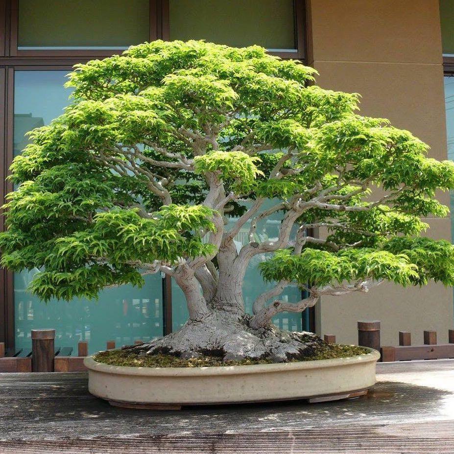 4 255 Likes 25 Comments Bonsai Empire Bonsaiempire On Instagram Shishigashira Japanese Maple Of 1m Tall Bonsai Tree Indoor Bonsai Tree Bonsai Garden