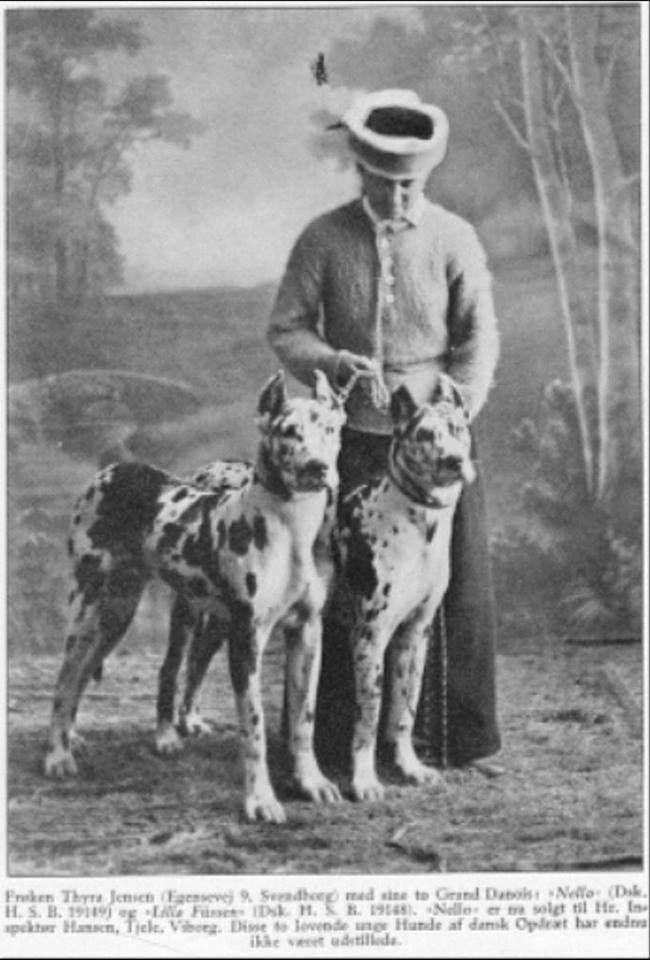 Great Danes Harlequins Circa 1910 Perros Gigantes Tipos De