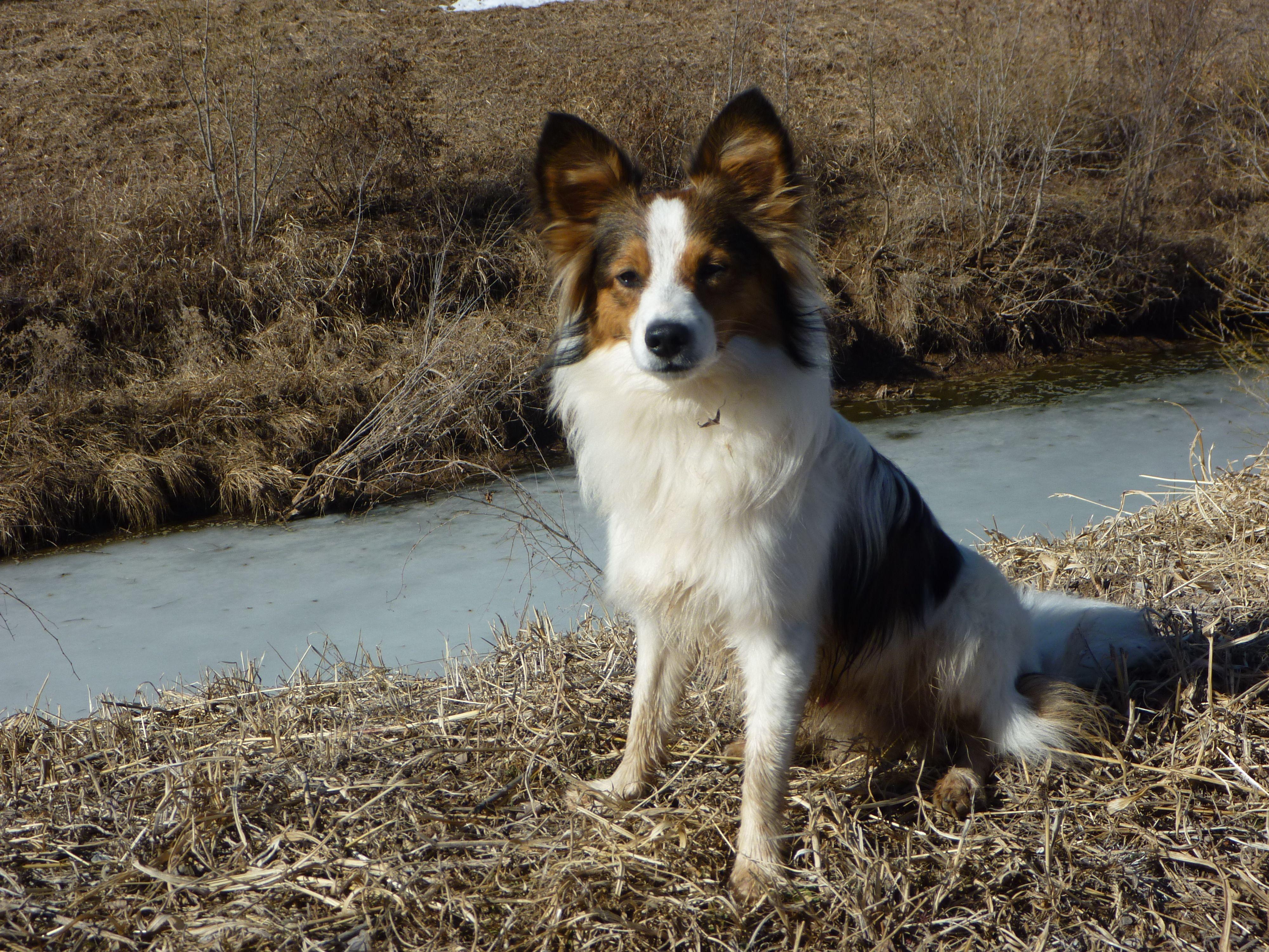 Looks Like My Max Shetland Sheepdog Papillon Dog Dogs