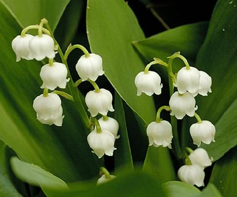 Lily Of The Valley Flower Also Comes In Pink Very Fragrant Sweet Smelling Growing Lilies Lily Of The Valley Flowers May Birth Flowers