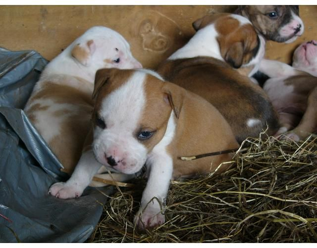 American Bulldog Puppies Nc Zoe Fans Blog American Bulldog