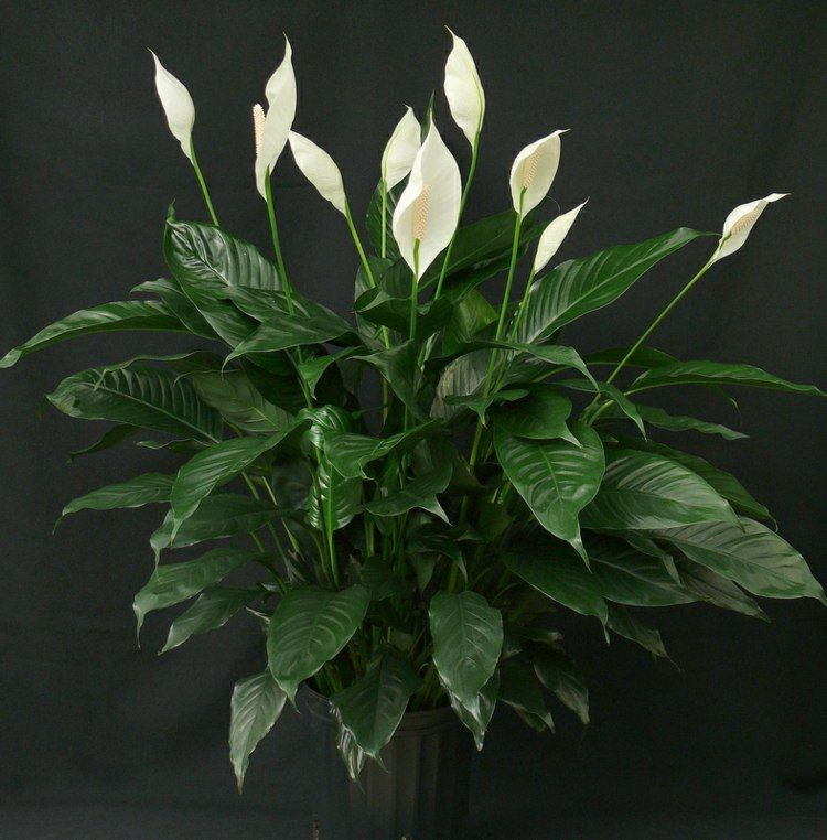 Grünpflanzen Für Dunkle Ecken eine zimmerpflanze mit edlem look ist das einblatt räume