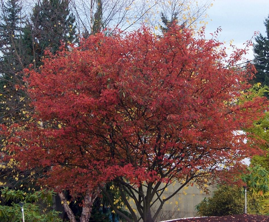 Serviceberry Or Juneberry Is One Of Our Favorite