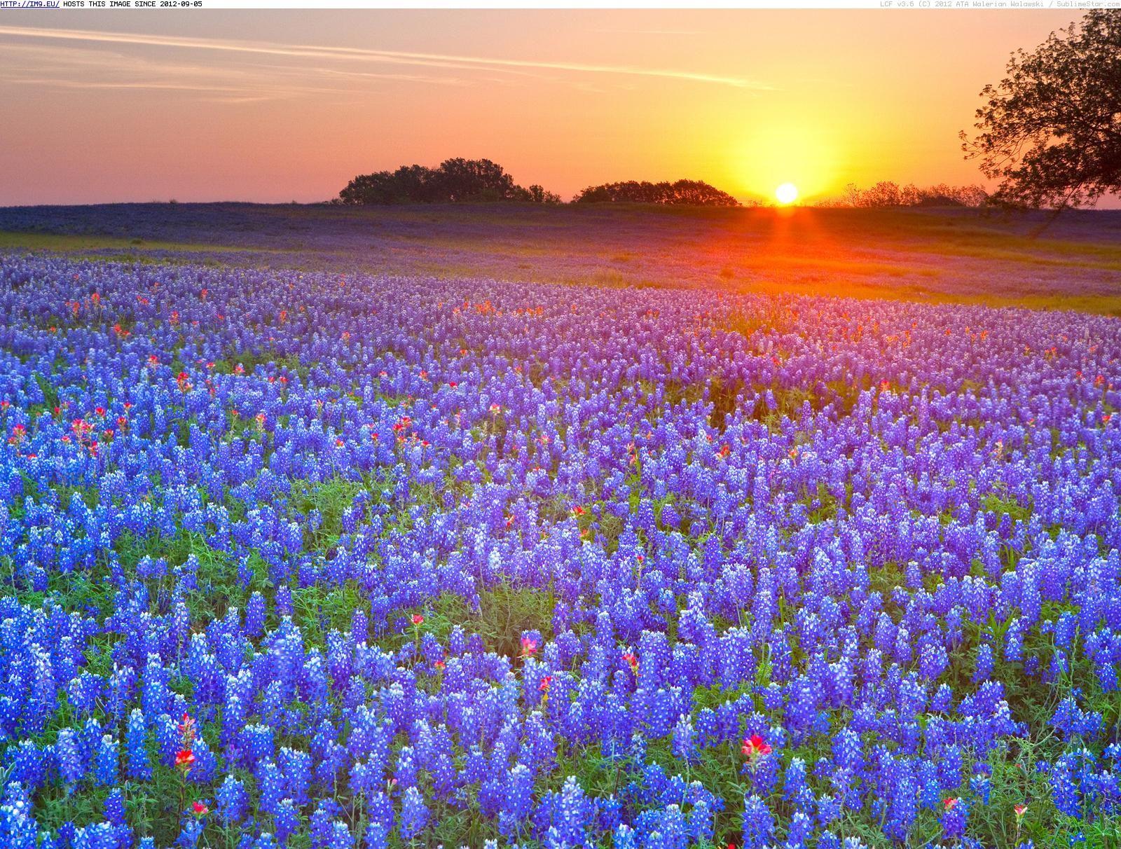 Bluebonnet Iphone Wallpaper Texas Bluebonnets Texas Hill Country Texas Your Hd