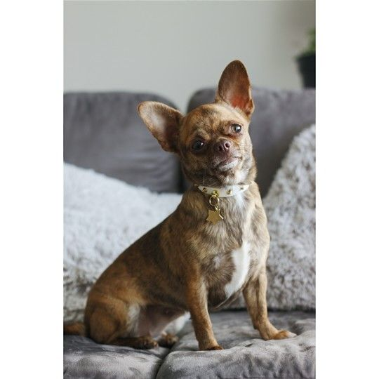 Chihuahua For Sale Craigslist Los Angeles - Pets Lovers