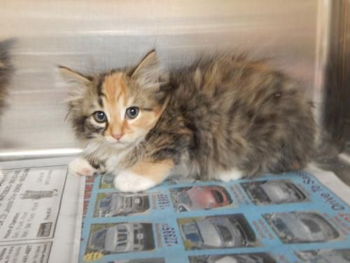 Pin by Tracy Fromm on Safe, Adopted Animals Kitten