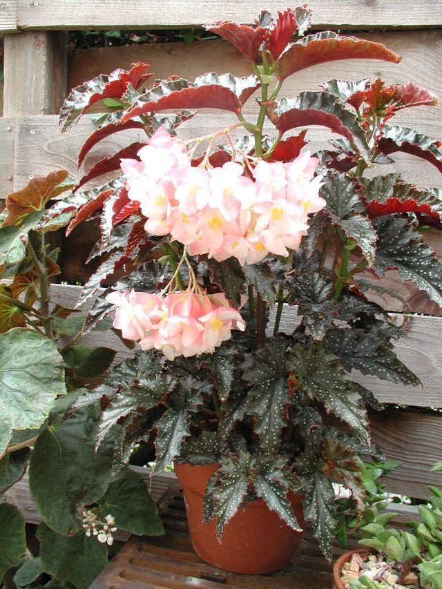 Image Listing Begonia Beautiful Flowers Plants