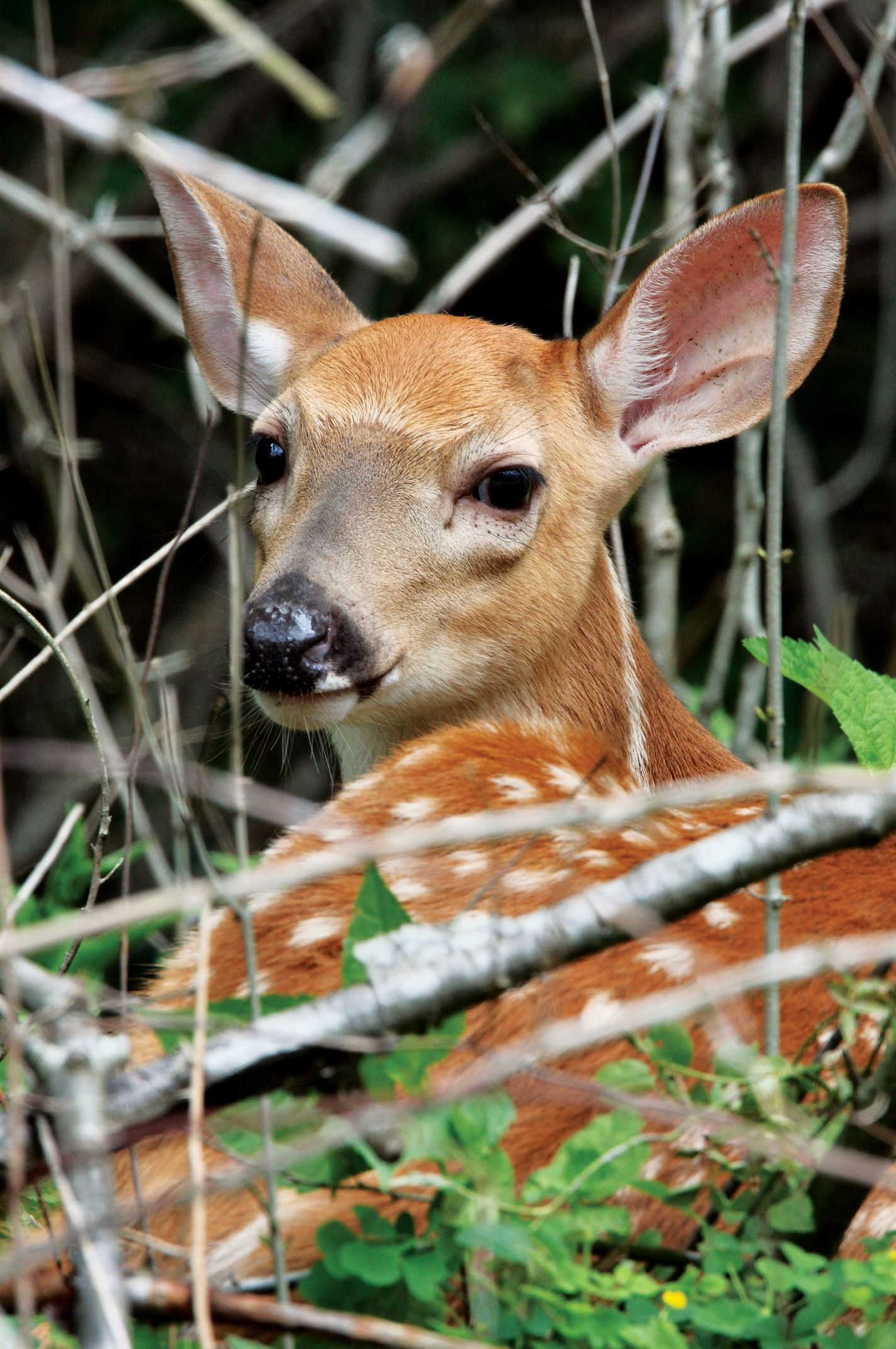 Did You Know Fun Fawn Fact From The Pennsylvania Game