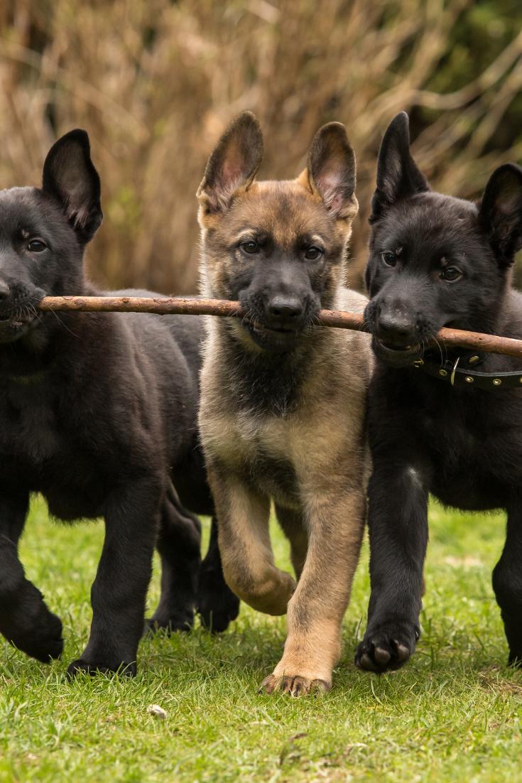 Discover The Secrets Of German Shepherd Click On The Image Black Sable German Shepherd Sable German Shepherd Shiloh Shepherd