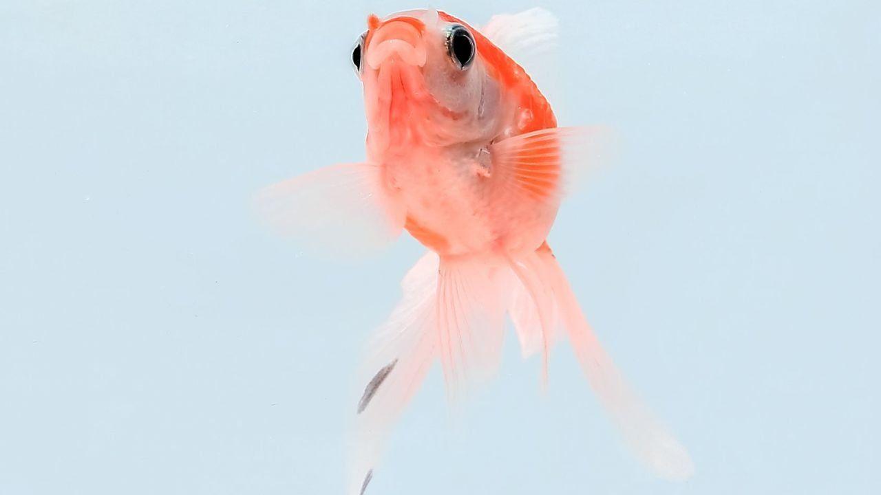 تربية أسماك الزينة Fish Pet Pets Animals