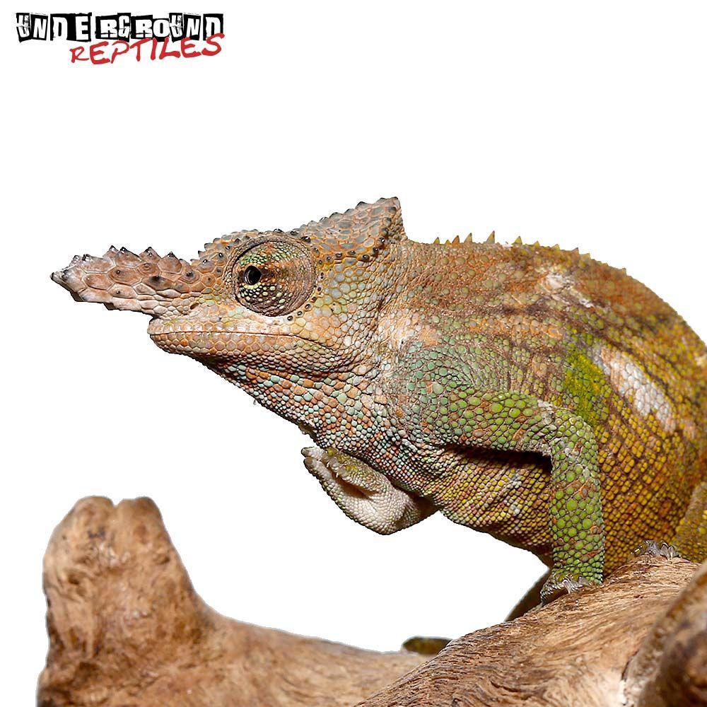 Dwarf Fischer S Chameleon Underground Reptiles In 2020