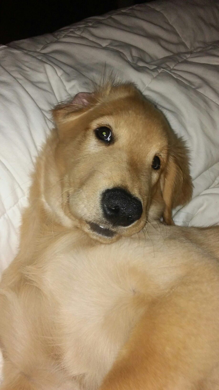 Logan our golden retriever puppy cute dogs cute animals