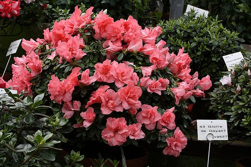 Como cuidar las azaleas | Plantas y Flores | Pinterest | Flower ...