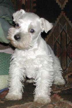 White Mini schnauzer puppy so adorable