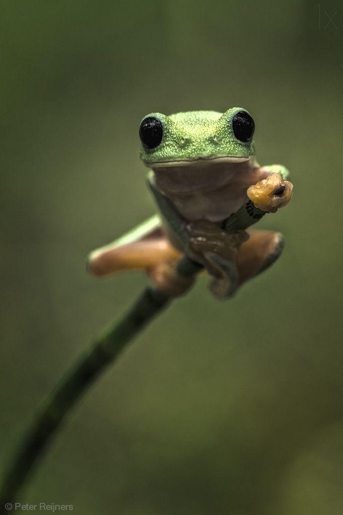 Ninja Frog By Peter Reijners Frog Amphibian Beautiful Macro