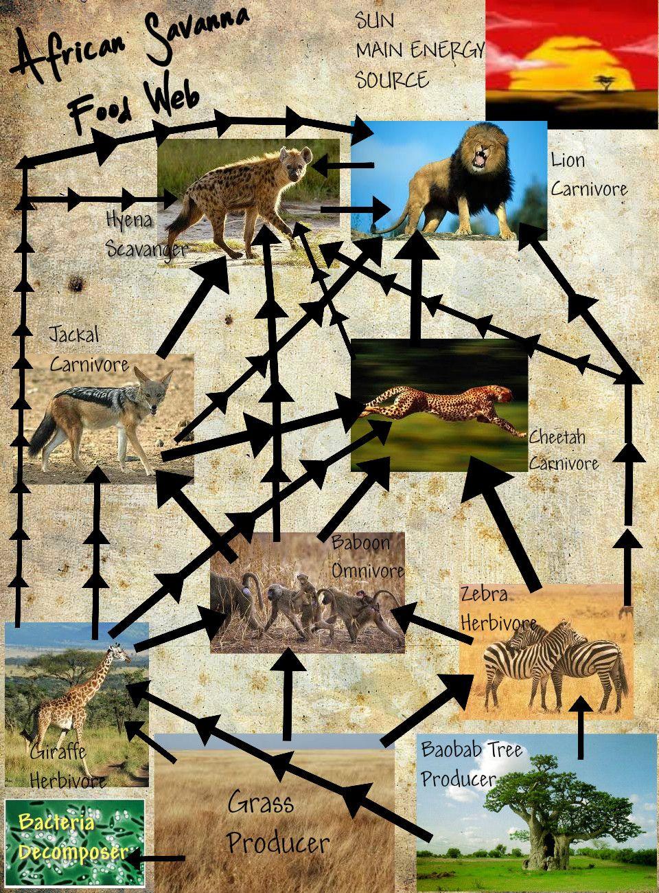 African Savanna Publish With Glogster Baboon, Savanna