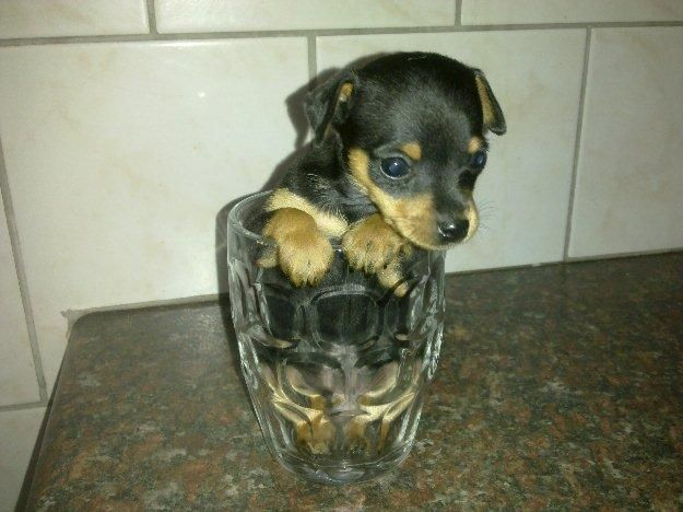 Beautiful Miniature Pincher Puppies Need New Homes Before