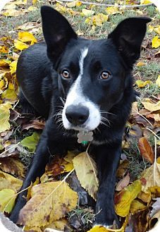 Pin By Norcal Border Collie Rescue Adoptions On Border Collies Available For Adoption Border Collie Border Collie Mix Collie