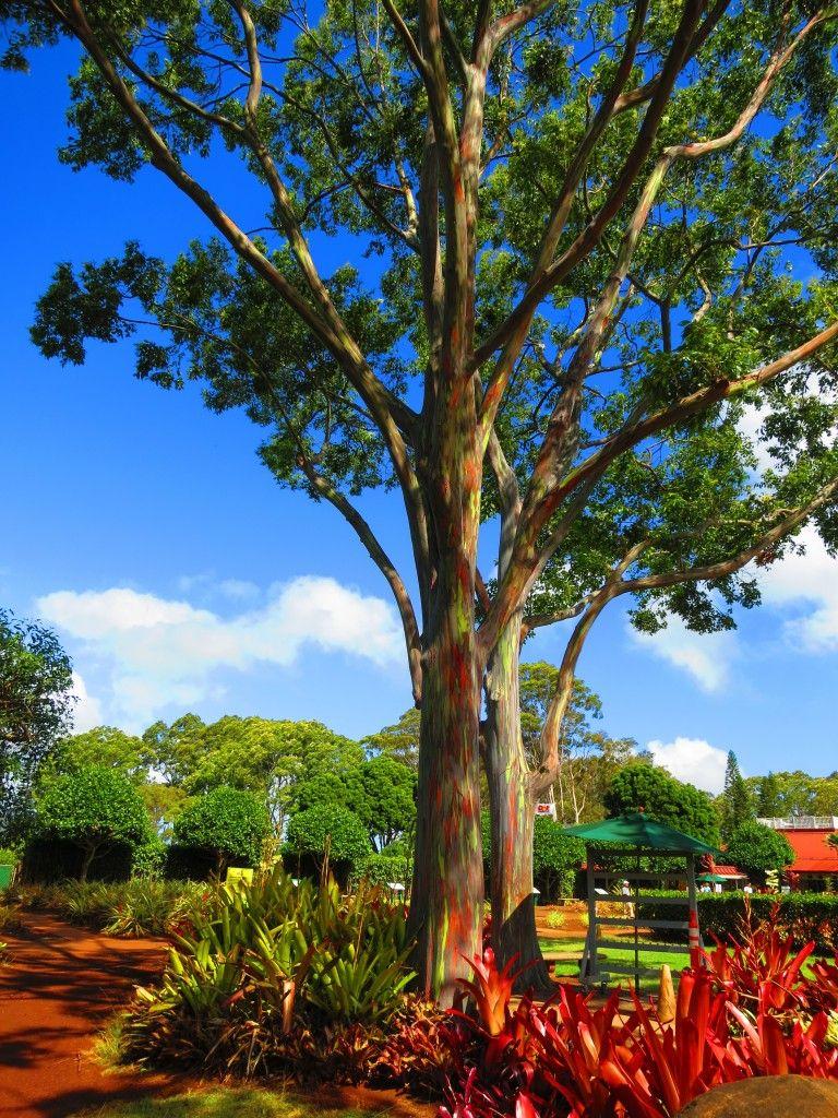 Rainbow Eucalyptus Tree Florida Google Search