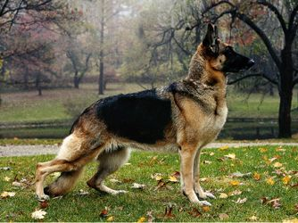 German Shepherds are courageous, active and dignified. He is the world's leading guard, police and military dog. He loves to swim and hike and is fond of children once he gets to know them.